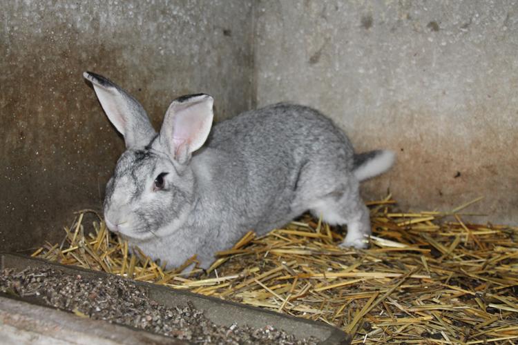 Très Les lapins et pigeons | Ferme de Filbois- Aufferville (77) DU45