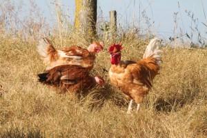 poulets cou-nus